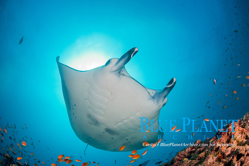 female reef manta ray, Mobula alfredi, with cephalic fins rolled up, at cleaning station on reef, with orange basslets, Pseudanthias squamipinnis, in foreground, Dharavandhoo Thila, Baa Atoll, Maldives, Indian Ocean