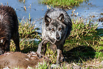 grey wolf charcoal color phase standing over deer carcass looking at camera