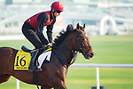 DUBAI,UNITED ARAB EMIRATES-MARCH 29: War Decree,trained by Aidan O'Brien,exercises in preparation for the Dubai Turf at Meydan Racecourse on March 29,2018 in Dubai,United Arab Emirates (Photo by Kaz Ishida/Eclipse Sportswire/Getty Images)