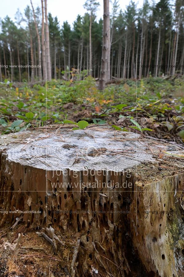 GERMANY, Mecklenburg, Forest, pine tree with Bark beetle infestation  / DEUTSCHLAND, Mecklenburg, Luebz, Kiefernwald, nach mehrjähriger Dürre sind viel Bäume geschwächt und anfällig für Sturmschäden und Baumschädlinge, Borkenkäfer Befall an einem Kiefernstamm, Kiefern werden geforstet und durch Eichen ersetzt