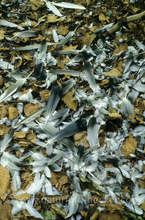 Rupfung, Sperber oder Habicht hat eine Ringeltaube erbeutet, gerupft und gefressen, Feder, Federn, Plucking, Sparrowhawk or Goshawk has captured a wood pigeon, plucked and eaten, feather, feathers
