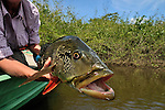 Amazon fly fishing for Peacock Bass