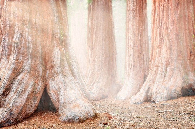 Grove of Giant sequoia trees. Mariposa Grove. Yosemite National Park, California