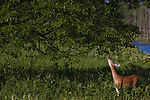 White-tailed doe reaching for a black cherry leaf in a meadow in nortthern Wisconsin.
