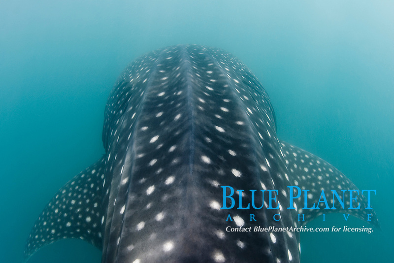 Whale shark underwater in murky plankton-rich waters around Donsol, Philippines. Rhincodon typus.