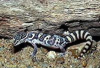 1R11-016z  Banded Gecko - found in southwest deserts - Coleonyx variegatus