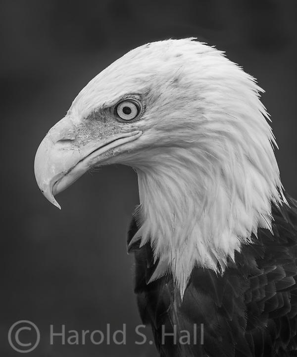 Bald eagle close-up.