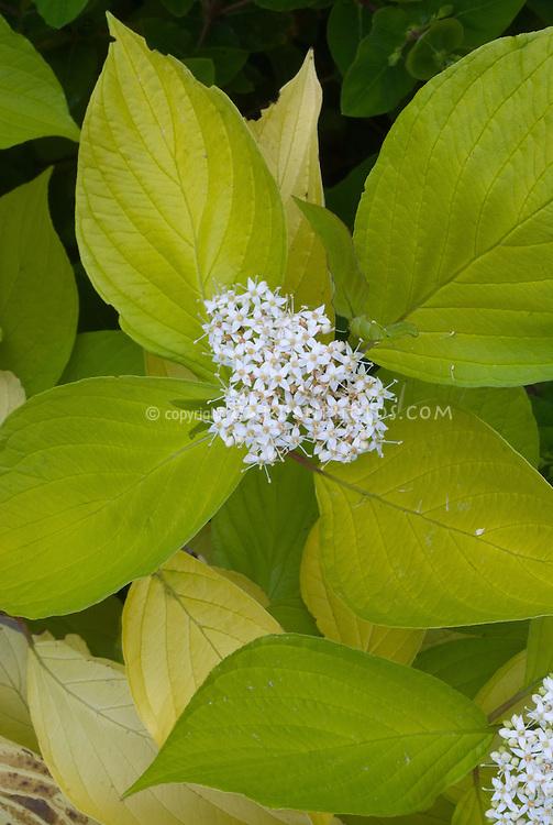 Cornus alba 'Aurea' in flower