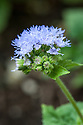 Ageratum houstonianum, mid June. Originally native to Mexico. Now found widely around the world. In Australia, it is known as billygoat weed and in Aboriginal medicine the crushed leaves were applied to wounds. Other common names include floss flower, bluemink, garden ageratum, blueweed, and pussy foot.