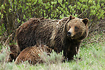 Grizzly No. 399 and her cubs in Grand Teton National Park, WY