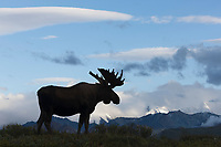 Large bull moose in velvet antlers silhouetted in front of a blue sky and the Alaska Range mountains in the distance, Denali National Park, Interior, Alaska.