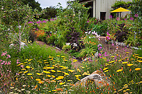Yellow yarrow as insectary pollinators for edible organic landscape with vegetables, flowers, herbs in raised beds with gravel paths, California; Lynmar Estate Winery