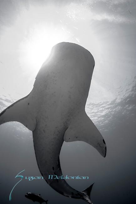 Whale Shark in sunburst, Rhincodon typus, Tubbataha