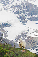 Mountain Goat (Oreamnos americanus).  Northern Rockies.  June.