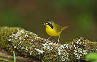 Kentucky Warbler (Oporornis formosus), adult male, South Padre Island, Texas, USA