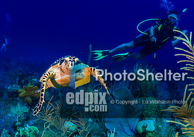 24 July 2015: SCUBA Divers discover a Hawksbill Turtle (Eretmochelys imbricata) at Hammerhead Hill, on the North Shore of Grand Cayman Island. Located in the British West Indies in the Caribbean, the Cayman Islands are renowned for excellent scuba diving, snorkeling, beaches and banking.  Mandatory Credit: Ed Wolfstein Photo *** RAW (NEF) Image File Available ***