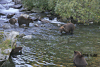 A photo of a group of 6 grizzlies salmon fishing in a stream in Katmai's National Park. Grizzly Bear or brown bear alaska Alaska Brown bears also known as Costal Grizzlies or grizzly bears Grizzly Bear Photos, Alaska Brown Bear with cubs. Purchase grizzly bear fine art limited edition prints here Grizzly Bear Photo Bear Photos,