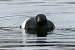 Black guillemot swimming towards camera.  This specie is a member of the Auk family.
