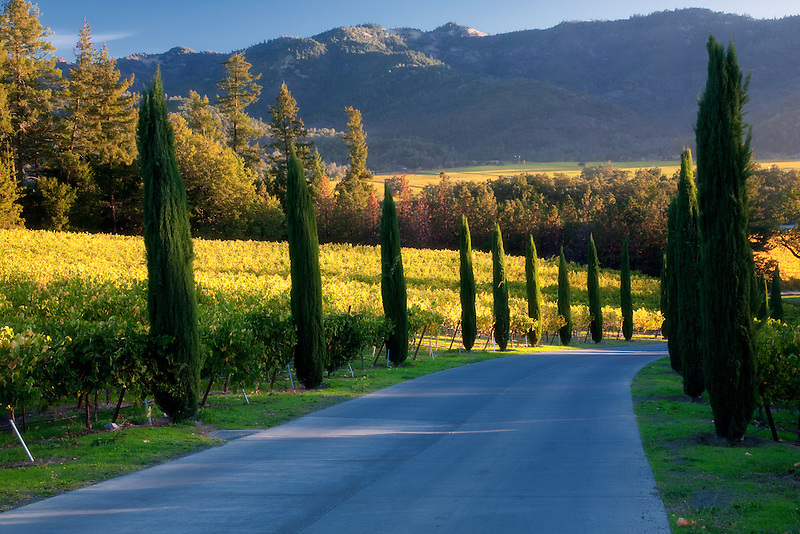 Tree lined drive with fall colored vineyard. Castello di Amorosa. Napa Valley, California. Property relased