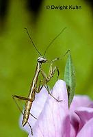 1M37-005z  Praying Mantis portraits of nymph - Tenodera aridifolia sinenesis  © Dwight Kuhn