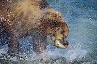 Coastal grizzly (Ursus arctos) catching salmon.  Alaska.  August.