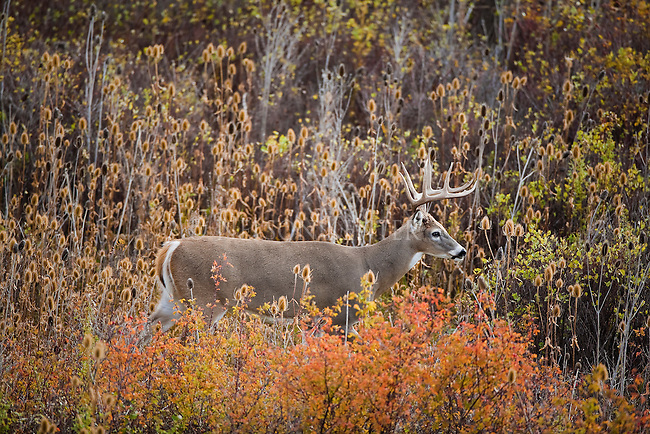 Whitetail Buck in a teasel patch in Montana
