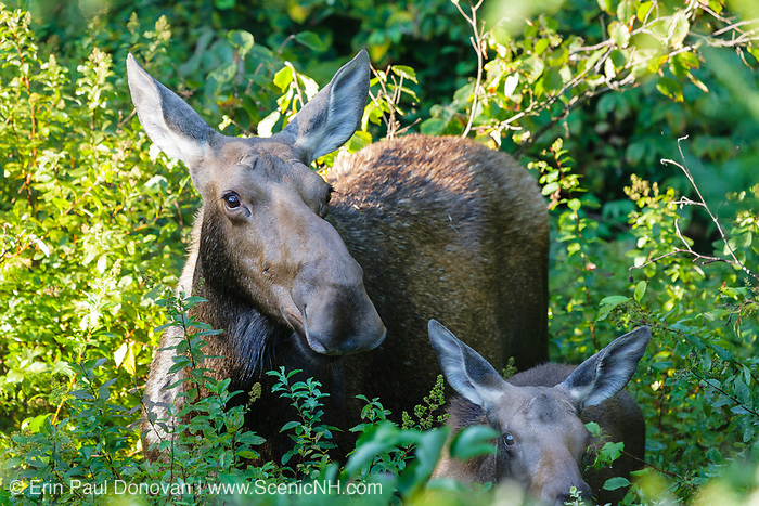 Moose and calf on the side of the Kancamagus Highway (route 112), which is one of New England's scenic byways in the White Mountains, New Hampshire USA.