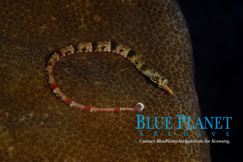 Broken, banded pipefish, Corythoichthys sp., broken, banded pipefish on brain coral, length to 8.5cm - Raja Ampat, West Papua, Indonesia