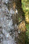 Adult white witch moth (Thysania agrippina) (Erebidae) resting on the white bark of a tree trunk. Mid-altitude montane rainforest. Manu Biosphere Reserve, Amazonia, Peru.