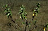 Lolgorian, Kenya. Siria Maasai; medicinal plant 'Osinoni'; used to repel mosquitoes.