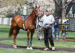 08 April 2011.  2 year old, Ingenue schools in the paddock.  She is entered to race the following day in the first 2 year old race of 2011 for fillies at Keeneland racecourse.