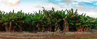 Field of Banana Trees in Kahuku in evening light.