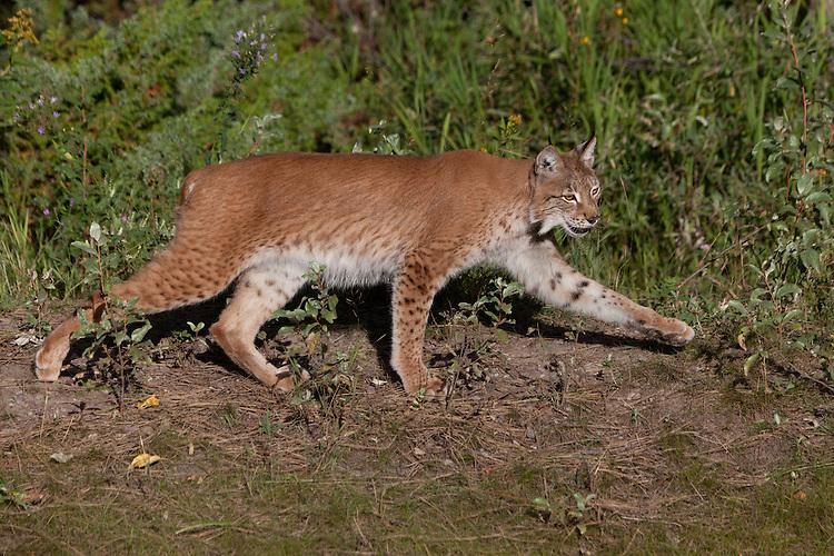 Siberian Lynx walking along the side of a hill - CA