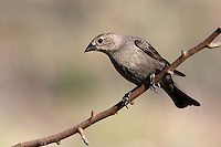 Female Brown-headed Cowbirds are plain brown birds, lightest on the head and underparts, with fine streaking on the belly and a dark eye.