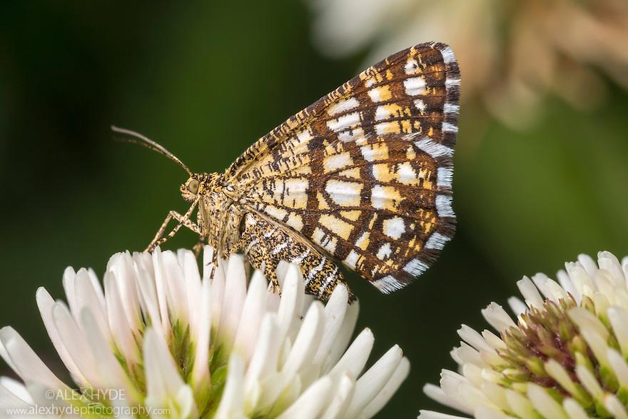 Latticed Heath moth {Chiasmia clathrata} on Clover flowers. Nordtirol, Austrian Alps. June.