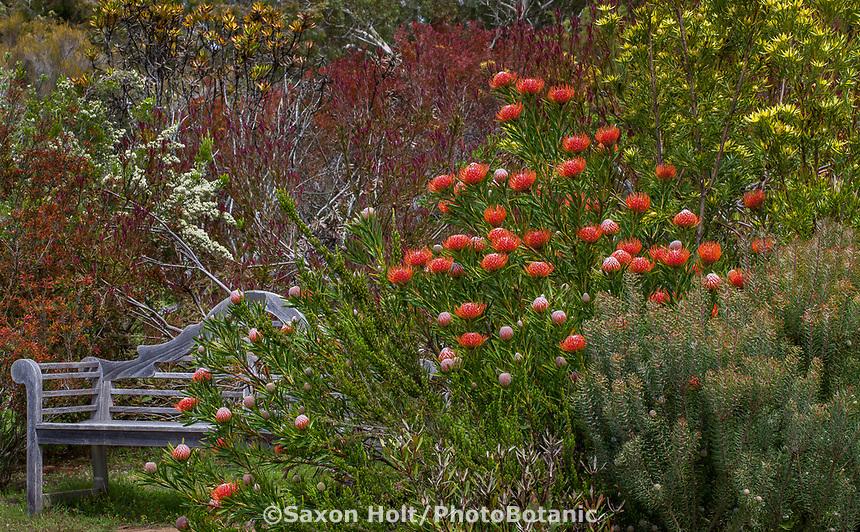 Leucospermum 'Scarlet Ribbon', Pincushion Protea, flowering South African shrub by garden bench in summer-dry California garden (Leucospermum glabram x tottum)