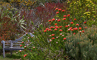 Leucospermum 'Scarlet Ribbon', Pincushion Protea, flowering South African shrub by garden bench in summer-dry California garden (Leucospermum glabram x tottum)
