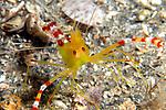 Golden Coral Shrimp with Eggs, Stenopus scutellatus, Decapoda, Blue Heron Bridge; Lake Worth Inlet; Florida; USA; Amazing Underwater Photography; Marine behavior;