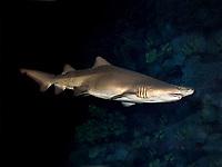 sand tiger shark, Carcharias taurus (c)