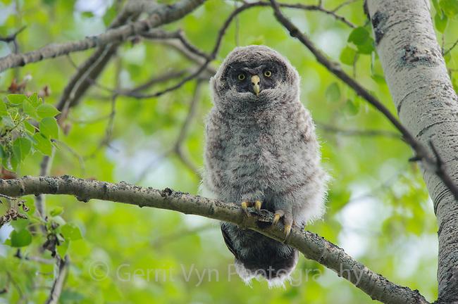 Fledgling Great Gray Owl (Strix nebulosa). Central Alberta, Canada. June.