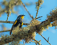 A yellow rumped warbler (Dendroica coronata) is sitting on branch full of lichens with a blue sky background.