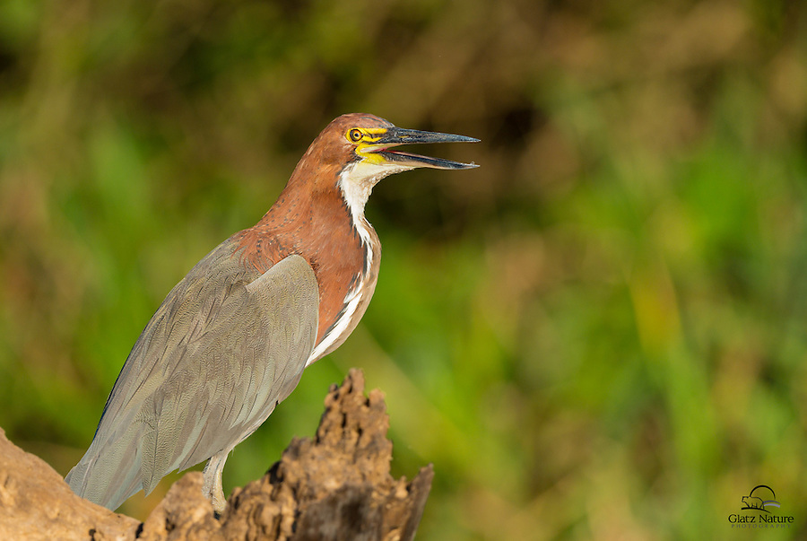 Adult Rufescent Tiger-heron (Tigrisoma lineatum) drying itself on a river bank in The Pantanal, Brazil.