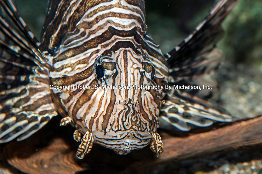 Red Lionfish facing camera, medium shot