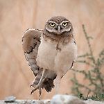 Owl gives photograph an evil stare as it's pictured pull yoga poses by David Yang