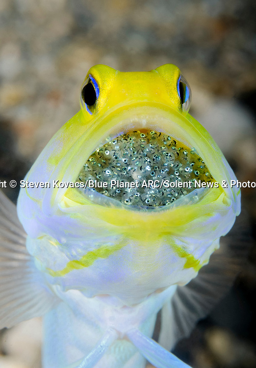 Pictured:  The yellowhead jawfish with his mouth full of eggs.<br /> <br /> Hey kids, stop giving me a mouthful!  This bright yellow fish is storing hundreds of eggs inside its large, open mouth.  The yellowhead jawfish protects its young from predators by keeping them in its mouth for around a week before releasing them.<br /> <br /> In the meantime the brooding male occasionally emerges from its burrow to aerate the eggs - spitting them out and sucking them back in.  Steven Kovacs managed to capture pictures of the fish at a popular diving spot under the Blue Heron Bridge in Riviera Beach, in the US state of Florida.  SEE OUR COPY FOR DETAILS.<br /> <br /> Please byline: Steven Kovacs/Blue Planet ARC/Solent News<br /> <br /> © Steven Kovacs/Blue Planet ARC/Solent News & Photo Agency<br /> UK +44 (0) 2380 458800