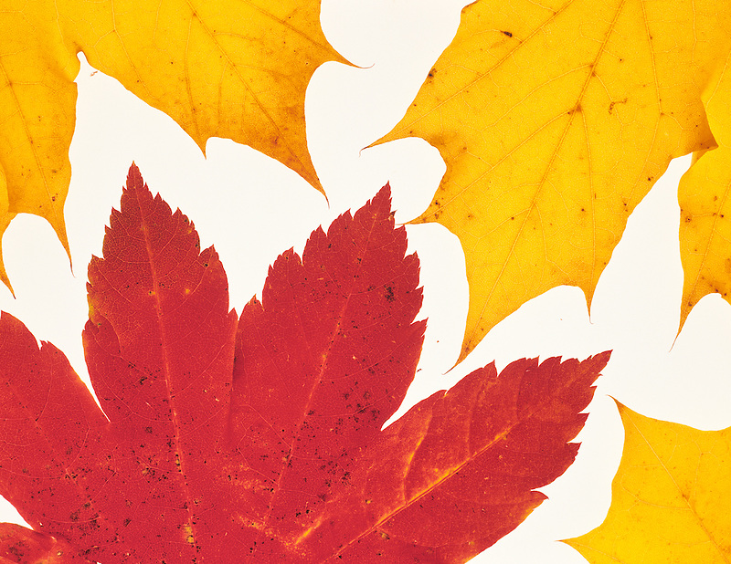 Backlit Big Leaf Maple leaf in fall color. Near Alpine, Oregon.