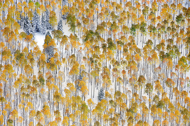 Aspen trees after winter snow storm near Mount Blanca, Colorado