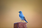 Mountain Bluebird on a fence post in Montana