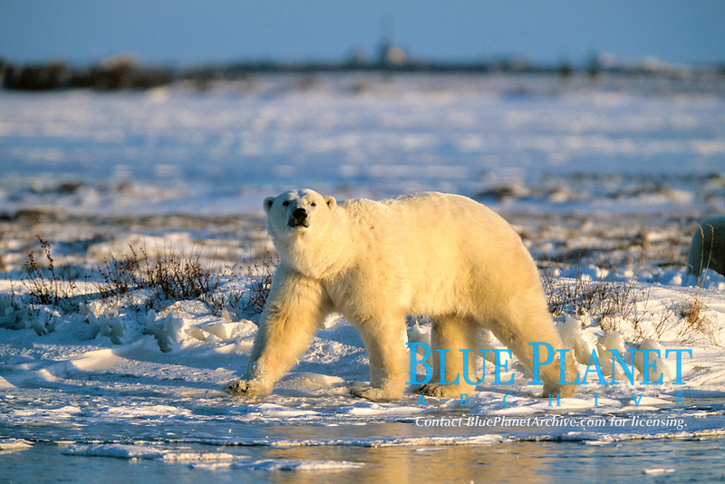 adult polar bear, Ursus maritimus, walking on fresh ice, northern Hudson Bay, Manitoba, Canada, Arctic, polar bear, Ursus maritimus