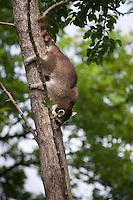 Waschbär, klettert von einem Baum herab, hervorragende Kletterer, Waschbaer, Wasch-Bär, Procyon lotor, Raccoon, Raton laveur